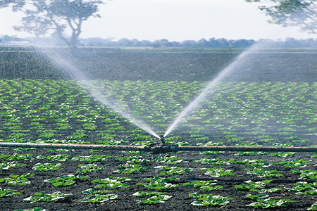 Field crops with spray irrigation